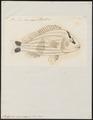 Pristipoma virginicum - 1774-1804 - Print - Iconographia Zoologica - Special Collections University of Amsterdam - UBA01 IZ13000125.tif