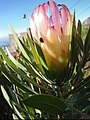 Protea 2.jpg