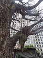 Protuberances hanging from a tree behind Shiroyama Trust Tower.jpg