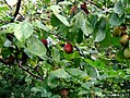 Prunus domestica01.jpg