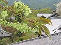 Prunus lannesiana Wils cv Gioiko01.jpg