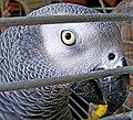 Psittacus erithacus -cage bars -head-6a.jpg