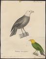 Psittirostra psittacea - 1700-1880 - Print - Iconographia Zoologica - Special Collections University of Amsterdam - UBA01 IZ19000251.tif