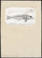 Pterois antennata - 1700-1880 - Print - Iconographia Zoologica - Special Collections University of Amsterdam - UBA01 IZ13300043.tif