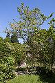 Pterosyrax corymbosus floraison.jpg