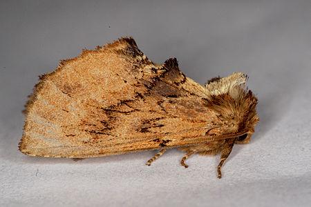 Ptilodon capucina, Lodz(Poland)02(js).jpg
