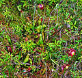Purple Pitcher Plant (Sarracenia purpurea) (7411265118).jpg