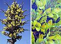 Puya chilensis (8400423189).jpg