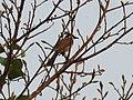 Pycnonotus jocosus (40967339992).jpg