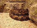 Python Reticulatus.jpg