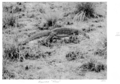 Queensland State Archives 4393 Goanna Tiree 1952.png