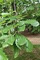 Quercus canariensis kz06.jpg