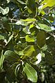 Quercus chapmanii (24191341615).jpg
