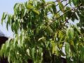 Quercus myrsinaefolia.JPG