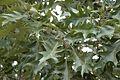 Quercus pagoda (23507619144).jpg