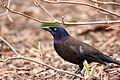 Quiscalus quiscula, National Zoological Park, Washington DC, USA 1.jpg