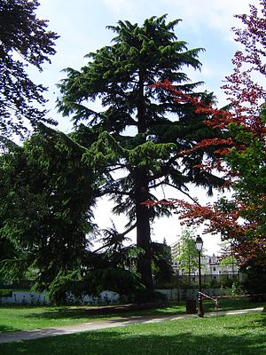 Flora of Pakistan - Image: RS 24 (Cèdre de l'Himalaya)