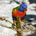 Rainbow Lorikeet (Trichoglossus moluccanus), Nelson Bay, NSW.jpg