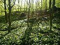Ramsløg i Riis Skov.JPG