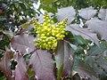 Ranunculales - Mahonia aquifolium 1.jpg