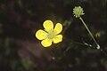 Ranunculus hispidus var nitidus NRCS-2.jpg