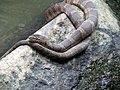 Rat Snake Umstead State Park 1918 (9299966319) (3).jpg