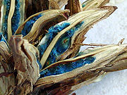 Ravenala madagascariensis-frutos.jpg