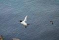 Razorbill bringing fish.jpg