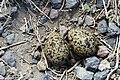 Recurvirostra americana -Tule Lake, California, USA -two eggs in nest-8.jpg