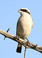 Red-backed shrike, Lanius collurio at at Pilanesberg National Park, Northwest Province, South Africa - male (17020258222).jpg