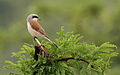 Red-backed shrike, Lanius collurio at at Pilanesberg National Park, Northwest Province, South Africa male (16834181380).jpg