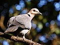 Red-eyed dove 2011 08 07 05764.jpg