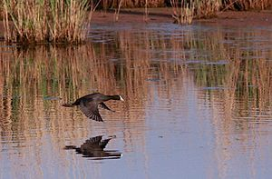 Red-knobbed Coot (or Crested Coot), Fulica cristata flying over the water at Marievale. (8131772447).jpg