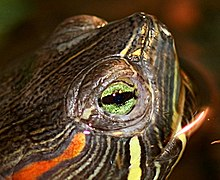 head of a red-eared slider turtle