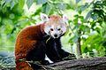 Red Panda (19907009938).jpg