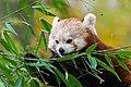 Red Panda (37661774945).jpg