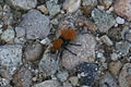 Red Velvet Ant Mutillidae in Idaho 2009.jpg