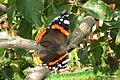 Red admiral (NH266) (15864595696).jpg