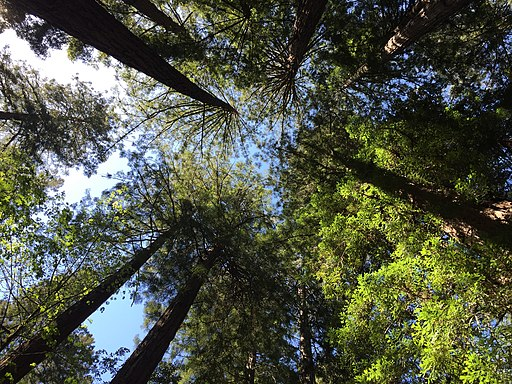 Redwoods from below