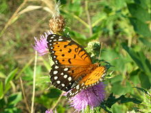 Regal Fritillary Female.jpg