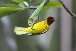 Resident adult male yellow or mangrove warbler.JPG