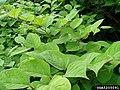 Reynoutria japonica leaf (02).jpg