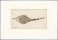 Rhinobatis spec. - bovenaanzicht - 1769 - Print - Iconographia Zoologica - Special Collections University of Amsterdam - UBA01 IZAA100057.tif