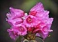 Rhododendron Sikkim.jpg