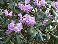 Rhododendron desquamatum (5551548696).jpg