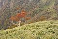 Rhododendron quinquefolium 08.jpg