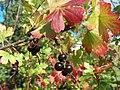Ribes aureum berries.JPG