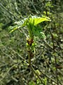 Ribes nigrum 2019-04-05 9122.jpg