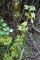 Ribes sanguineum 127107865.jpg