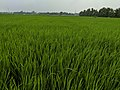 Rice crops at initial stage.jpg